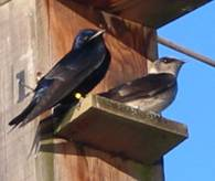 A pair of Purple Martins perched on their nest box.